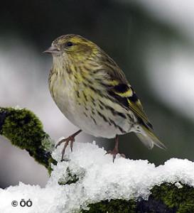 Barrfinka kvenfugl