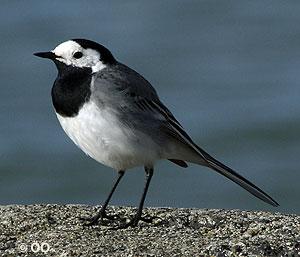 Maríuerla - fullorðinn fugl