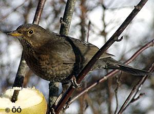 Svartþröstur - kvenfugl