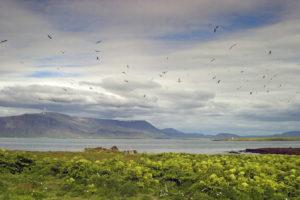 Akurey á Kollafirði. Ljósmynd Jóhann Óli Hilmarsson