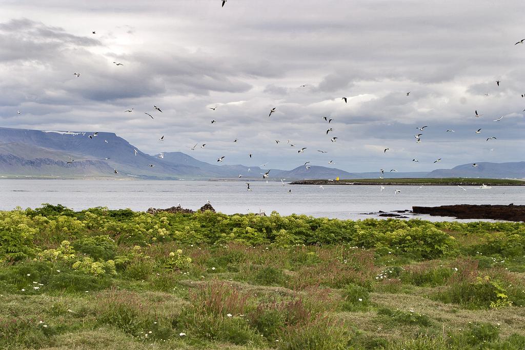 Akurey á Kollafirði. Ljósmynd: Jóhann Óli Hilmarsson