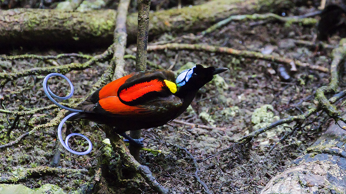 Wilsons Bird of Paradise. Ljósmynd ©Yann Kolbeinsson.