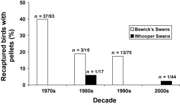 Fig. 6. Percentage of Bewick's and whooper swans with an increased pellet count on re-capture (n = number of birds shot/number of birds X-rayed more than once).