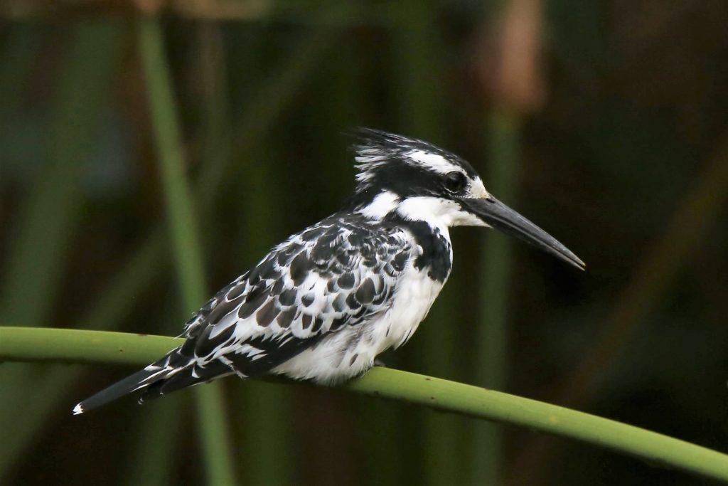 African Pied Kingfisher @Helgi Guðmundsson